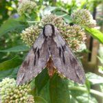 Pink Hawk moth A